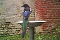Magpie on drinking trough.jpg