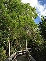 Mahogany Canopy - panoramio.jpg