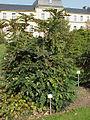 Mahonia japonica3.jpg