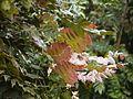 Mahonia leschenaultii (6369914235).jpg