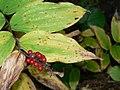 Maianthemum racemosum 26342.JPG