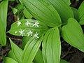 Maianthemum stellatum 2 RF.jpg