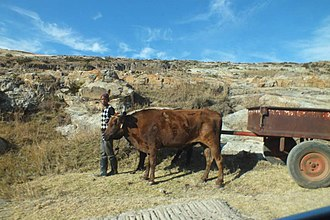 Transport in Lesotho - Cattle work in Lesotho