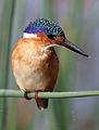 Malachite Kingfisher, Alcedo cristata at Marievale Nature Reserve, Gauteng, South Africa (25284078833).jpg