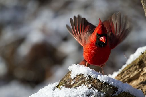 Male Northern Cardinal (9600060696)