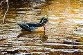 Male Wood Duck (32085583506).jpg