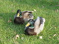 Mallard ducks at Regent's Park Queen Mary Gardens lake 2.JPG
