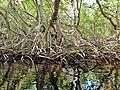 Malpighiales - Rhizophora mangle - 15.jpg