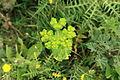 Malta - Siggiewi - Misrah Ghar il-Kbir - Euphorbia helioscopia 01 ies.jpg