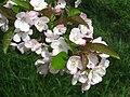 Malus hupehensis, Arnold Arboretum - IMG 6006.JPG