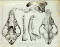 Mammals of North America (1859) Canis lycaon skull.png
