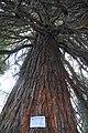Mammutbaum 02 Treffen am Ossiachersee, Villach Land, Kärnten.jpg