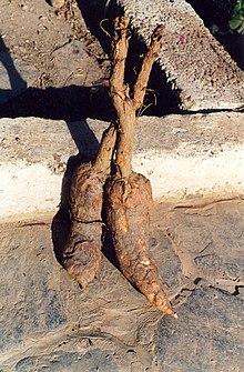 Sugerencia Calaguala -planta- 220px-Mandrake-roots