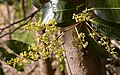 Mango tree flowers, Umaria district, M.P., India.jpg