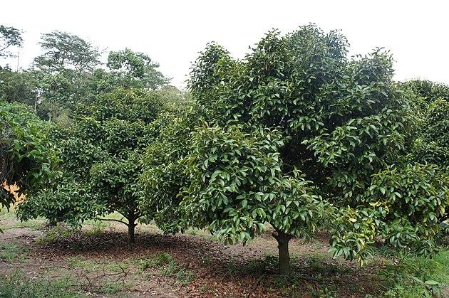 Mangoesteen tree (Garcinia mangostana)