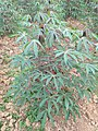 Manihot esculenta - Tapioca - Cassava at Periya (10).jpg