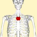 Manubrium frontal2.png