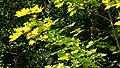 Maple leaves in Sämstad 2.jpg