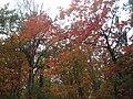 Maples (4998909358).jpg