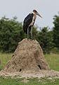 Marabou Stork, Leptoptilos crumeniferus, at the aptly named Marabou Pan, Savuti, Chobe National Park, Botswana (32406813910).jpg