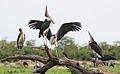 Marabou Stork, Leptoptilos crumeniferus, at the aptly named Marabou Pan, Savuti, Chobe National Park, Botswana (32663812441).jpg