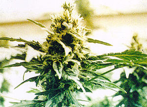 English: Cannabis plant from http://www.usdoj....