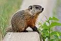 Marmota monax UL 21.jpg
