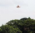 Marsh Harrier hunting over wheat field east of Mill Lane - geograph.org.uk - 1428194.jpg
