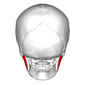 Masseter muscle - posterior view - superficial part.png