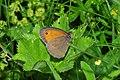 Meadow Brown (Maniola jurtina) (9136453332).jpg