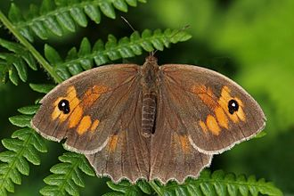 Meadow brown - Image: Meadow brown butterfly (Maniola jurtina) female