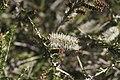 Melaleuca adnata flowers.jpg