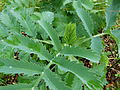 Melianthus major.JPG