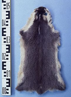 Melogale moschata (Ferret badger) fur skin.jpg
