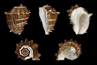 Melongena melongena - Five views of a shell of Melongena melongena (Linné, 1758)