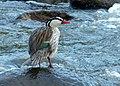 Merganetta armata (Pato de torrente) - Flickr - Alejandro Bayer.jpg