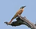 Merops nubicoides, Khwai, Botswana 4.jpg