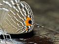 Metallic Caerulean (Jamides alecto ageladas) hindwing close-up (15494112361).jpg