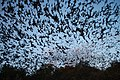 Mexican free-tailed bats exiting Bracken Bat Cave (8006832787).jpg