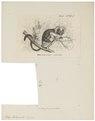 Midas oedipus - 1879 - Print - Iconographia Zoologica - Special Collections University of Amsterdam - UBA01 IZ20200045.tif