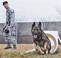 Military working dogs train for success 120215-F-EA289-005.jpg
