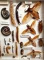 Missiemuseum Steyl-Tegelen, vlinders & geleedpotigen 13.jpg