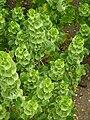 Moluccella laevis (Labiatae) plant.JPG