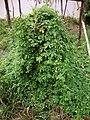 Momordica charantia (3).JPG