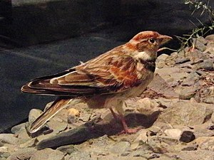 Mongolian lark - Stuffed specimen of a Mongolian lark (Melanocorypha mongolica) at the National Museum of Nature and Science, Tokyo, Japan