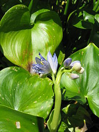 Monochoria korsakowii1