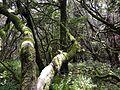 Moosbewachsene Bäume.jpg