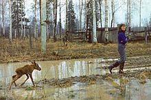 A young woman in rubber boots is walking with arms crossed through a muddy clearing in a birch wood, followed by a young moose calf running through a puddle