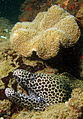 Moray and leather coral, Ponta do Ouro, Mozambique (6648673879).jpg