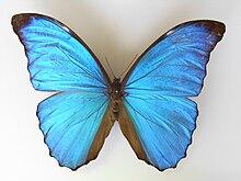 Morpho Amathonte Wikipedia